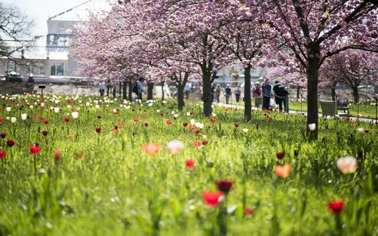 Cherry trees in bloom, and tulips, leading to the Temperate House, RBG Kew, in spring