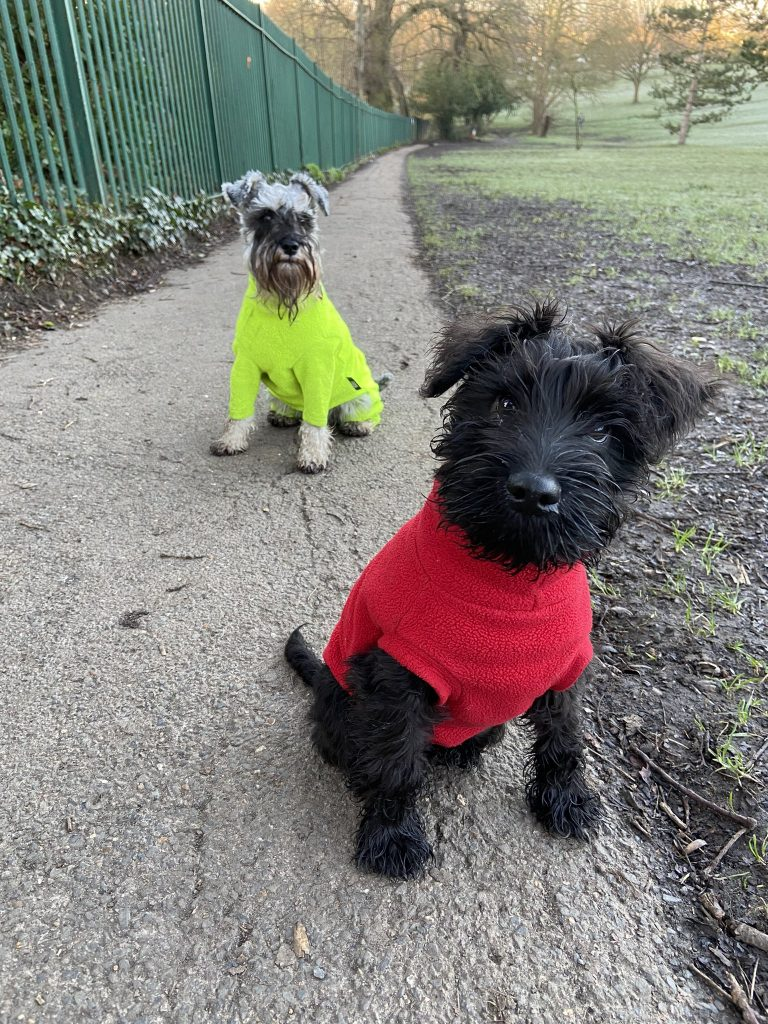 Schnauzers Noodle and Scribble