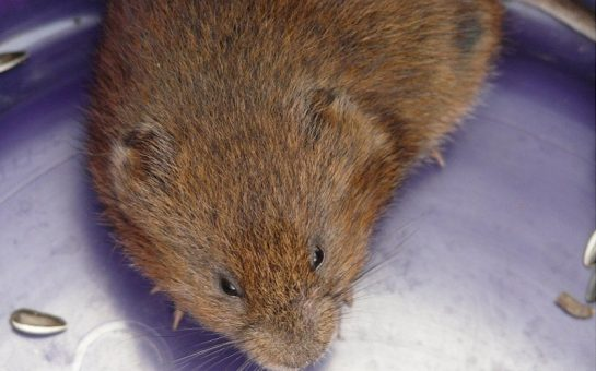 A picture of a water vole